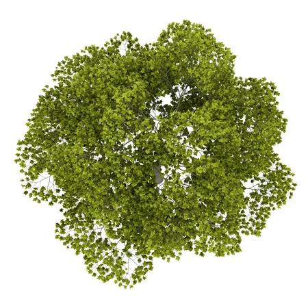 アメリカのブナの木の白い背景で隔離のトップ ビュー