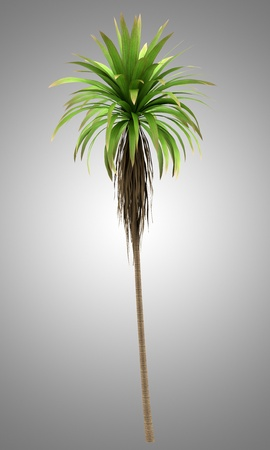 cordyline: Mountain Cabbage palm tree isolated on gray background Stock Photo