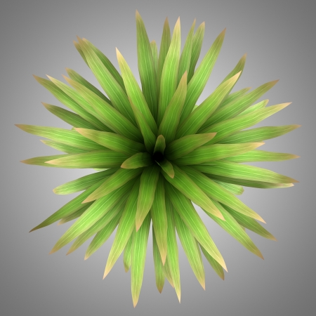 cordyline: top view of mountain cabbage palm tree isolated on gray background