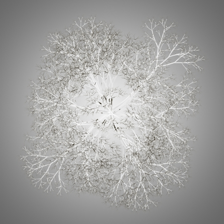 norway maple: top view of winter norway maple tree isolated on gray background