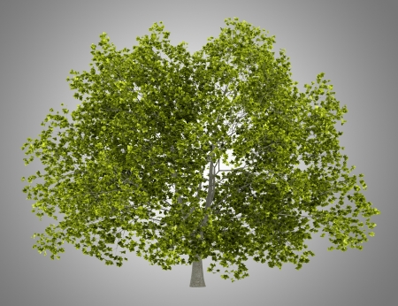american beech tree isolated on gray background