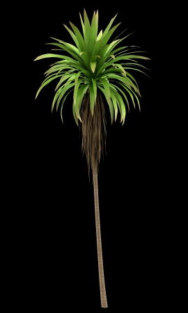cordyline: Mountain Cabbage palm tree isolated on black background
