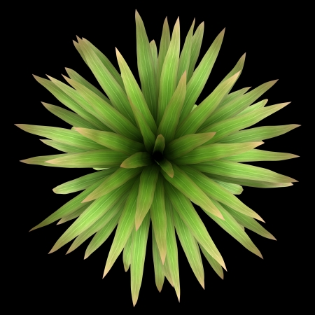 top view plant: top view of mountain cabbage palm tree isolated on black background
