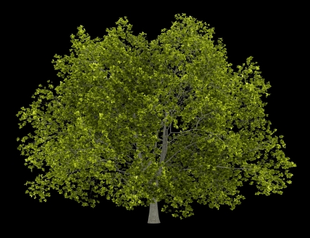 american beech tree isolated on black background