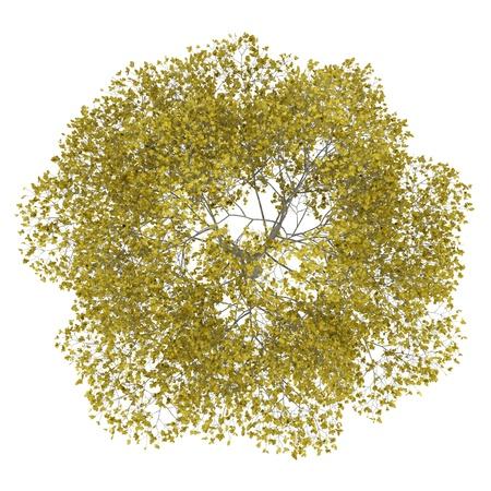 bovenaanzicht van vallen amerikaanse beuk boom op een witte achtergrond
