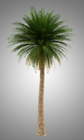 canary island: canary island date palm tree isolated on gray background Stock Photo