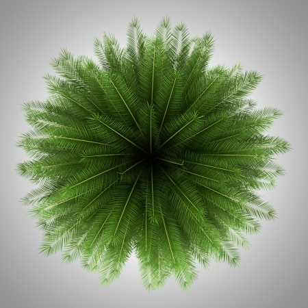 date palm tree: top view of canary island date palm tree isolated on gray background Stock Photo