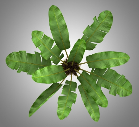 subtropical plants: top view of wild banana palm tree isolated on gray background Stock Photo