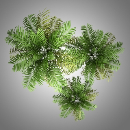 three palm trees: top view of three areca palm trees isolated on gray background