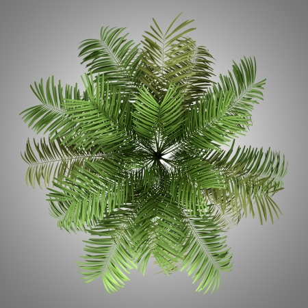 subtropical plants: top view of areca palm tree isolated on gray background Stock Photo