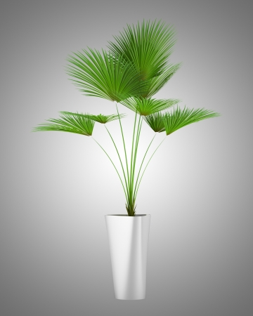 houseplant: palm tree in pot isolated on gray background Stock Photo