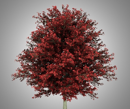 acer: red maple tree isolated on gray background