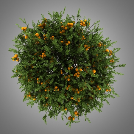 deciduous: top view of orange tree isolated on gray background