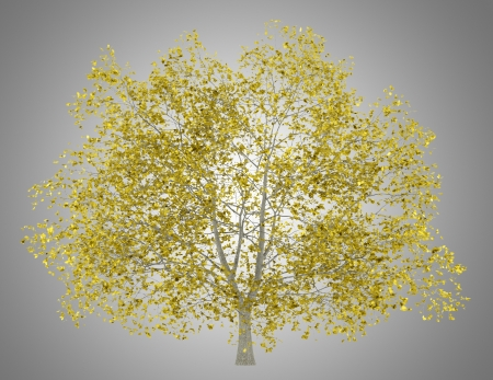fall american beech tree isolated on gray background