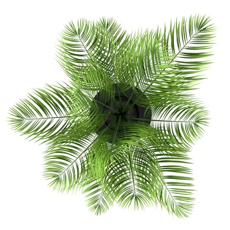 top view of palm tree in black pot isolated on white background photo