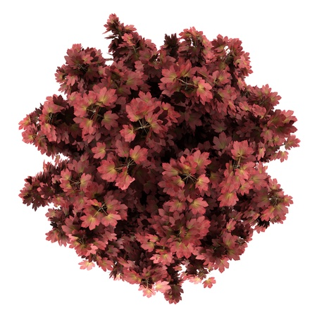 Draufsicht auf roten Ahornbaum isoliert auf wei?em Hintergrund Standard-Bild