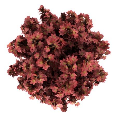 arbre vue dessus: vue de dessus d'érable rouge isolé sur fond blanc