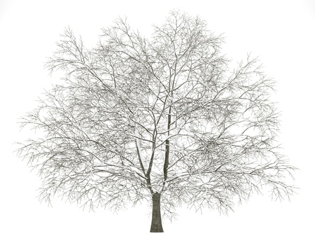 winter american beech tree isolated on white background