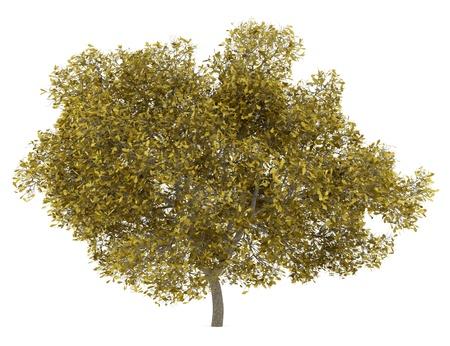 quercus robur: fall english oak tree isolated on white background Stock Photo