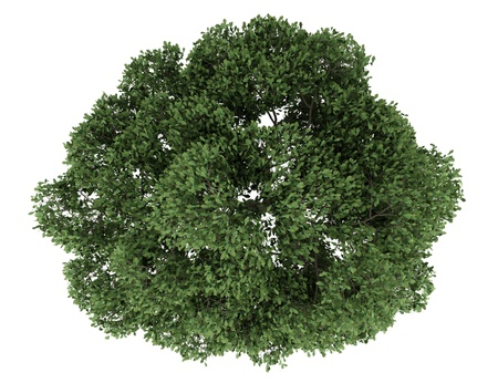 top view of english oak tree isolated on white background photo