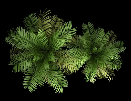top view of two areca palm trees isolated on black background photo