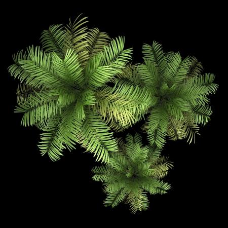 Draufsicht von drei Areca Palmen isoliert auf schwarzem Hintergrund