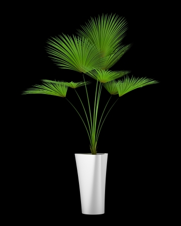houseplant: palm tree in pot isolated on black background Stock Photo