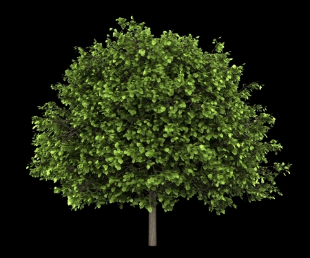 small-leaved lime tree isolated on black background Stock Photo - 19910415