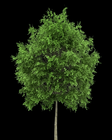 tilia cordata: small-leaved lime tree isolated on black background