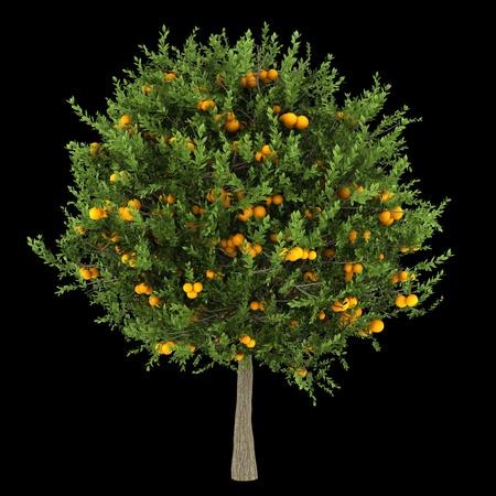 citrus tree: orange tree isolated on black background