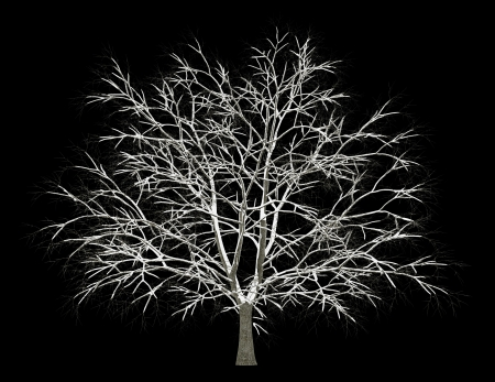 winter american beech tree isolated on black background