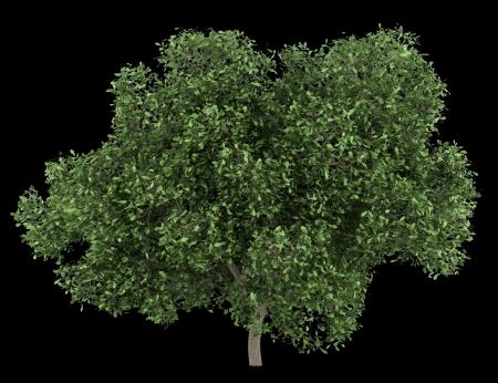 english oak: english oak tree isolated on black background
