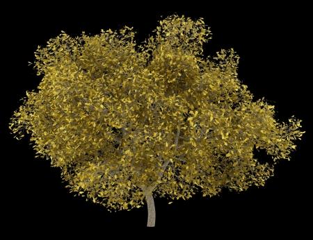 quercus robur: fall english oak tree isolated on black background Stock Photo