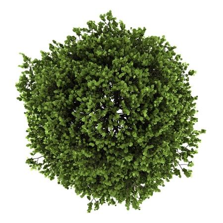 흰색 배경에 고립 된 작은 잎이 달린 라임 트리의 상위 뷰