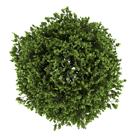 arbre vue dessus: vue de dessus du tilleul à petites feuilles isolé sur fond blanc