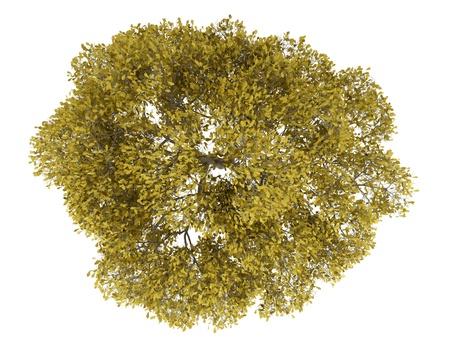 arbre vue dessus: vue de dessus d'automne anglais ch�ne isol� sur fond blanc
