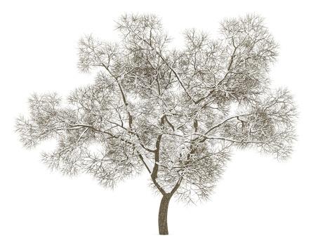 quercus robur: winter english oak tree isolated on white background Stock Photo