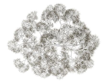 arbre vue dessus: vue de dessus d'anglais ch�ne hiver isol� sur fond blanc