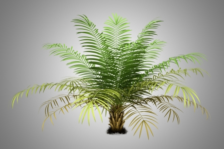 sugar palm tree isolated on gray background photo