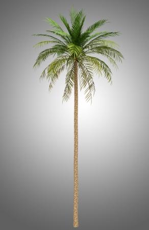 dactylifera: date palm tree isolated on gray background Stock Photo