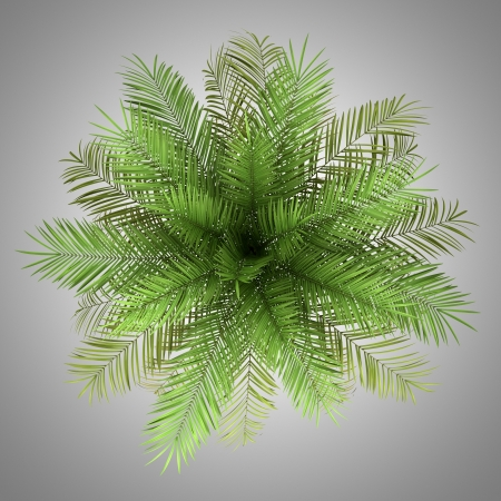 top view of date palm tree isolated on gray background photo