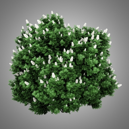 oakleaf hydrangea bush isolated on gray background photo