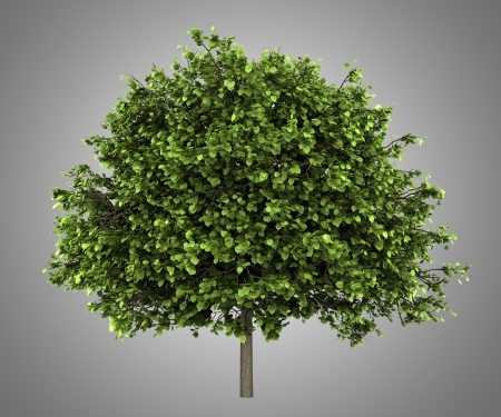 small-leaved lime tree isolated on gray background Stock Photo - 20196365