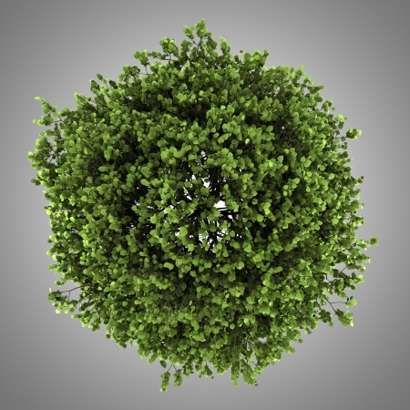 top view of small-leaved lime tree isolated on gray background Stock Photo - 20189970