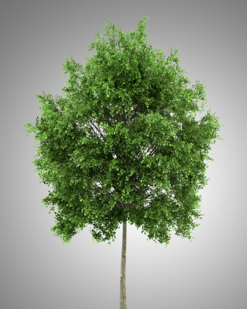 tilia cordata: small-leaved lime tree isolated on gray background