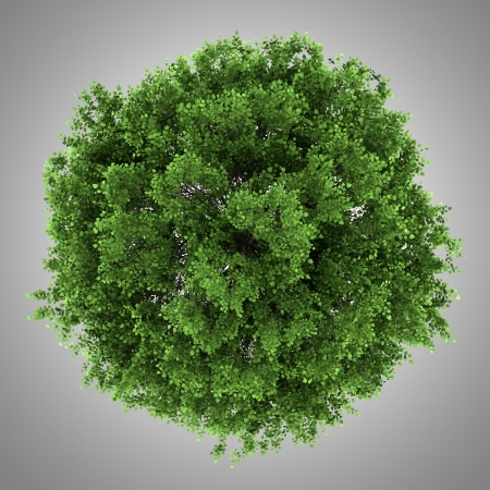 top view of small-leaved lime tree isolated on gray background Stock Photo - 20196482