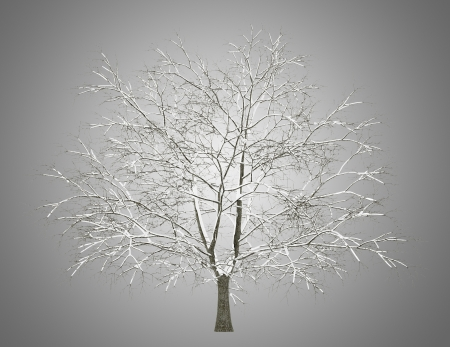 american beech: winter american beech tree isolated on gray background