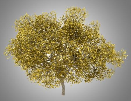 quercus robur: fall english oak tree isolated on gray background Stock Photo