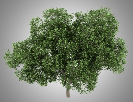 english oak: english oak tree isolated on gray background