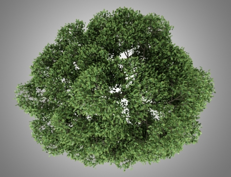 top view of english oak tree isolated on gray background